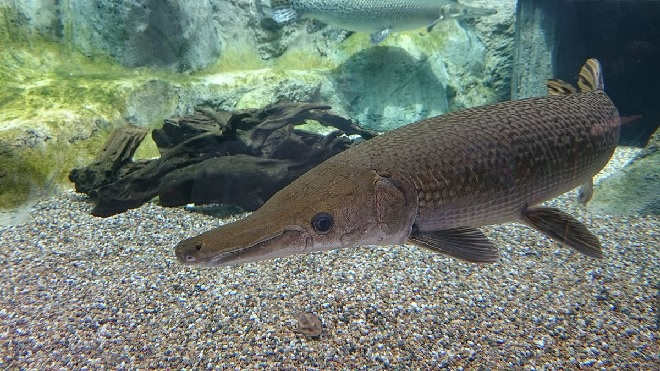 Hatcheries Stocking Alligator Gar to Combat Carp